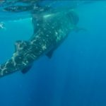 Nuotare con gli squali balena in Yucatán - Messico