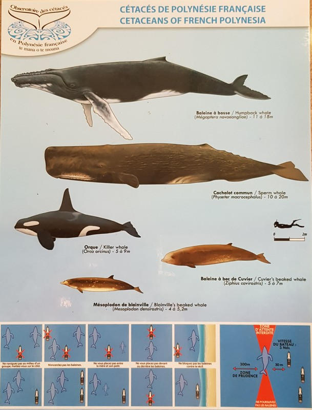 scheda sui cetacei della POlinesia Francese