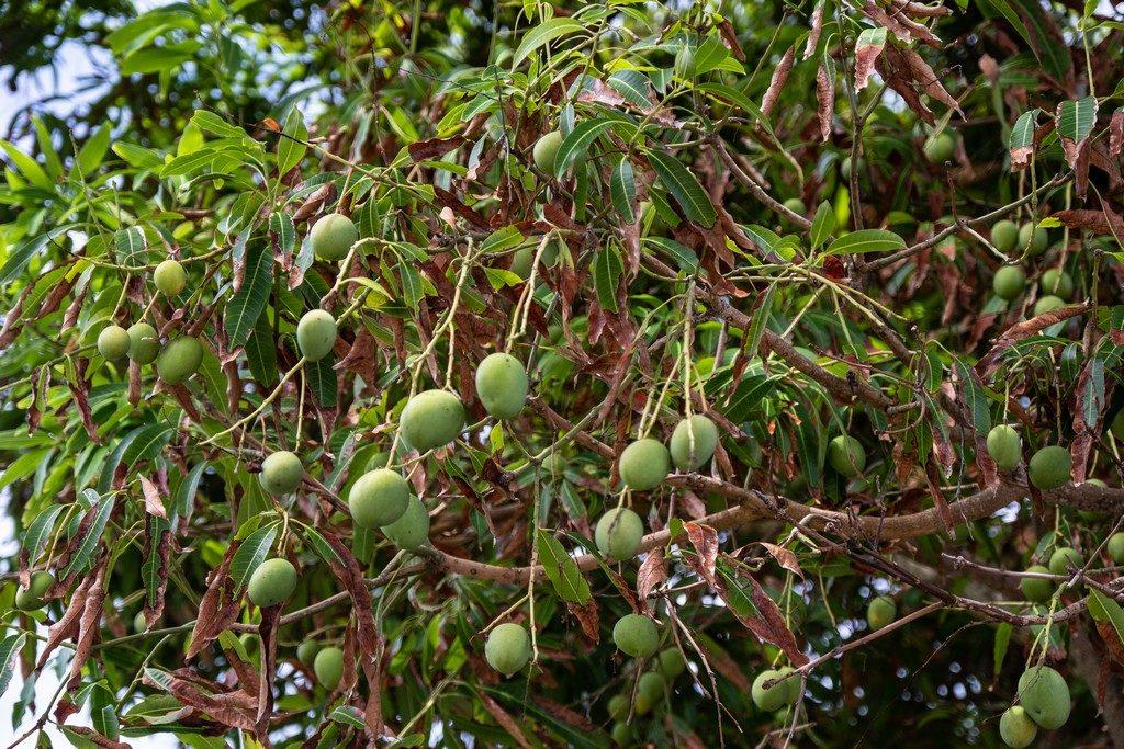 Alberi di mango: saranno maturi a novembre