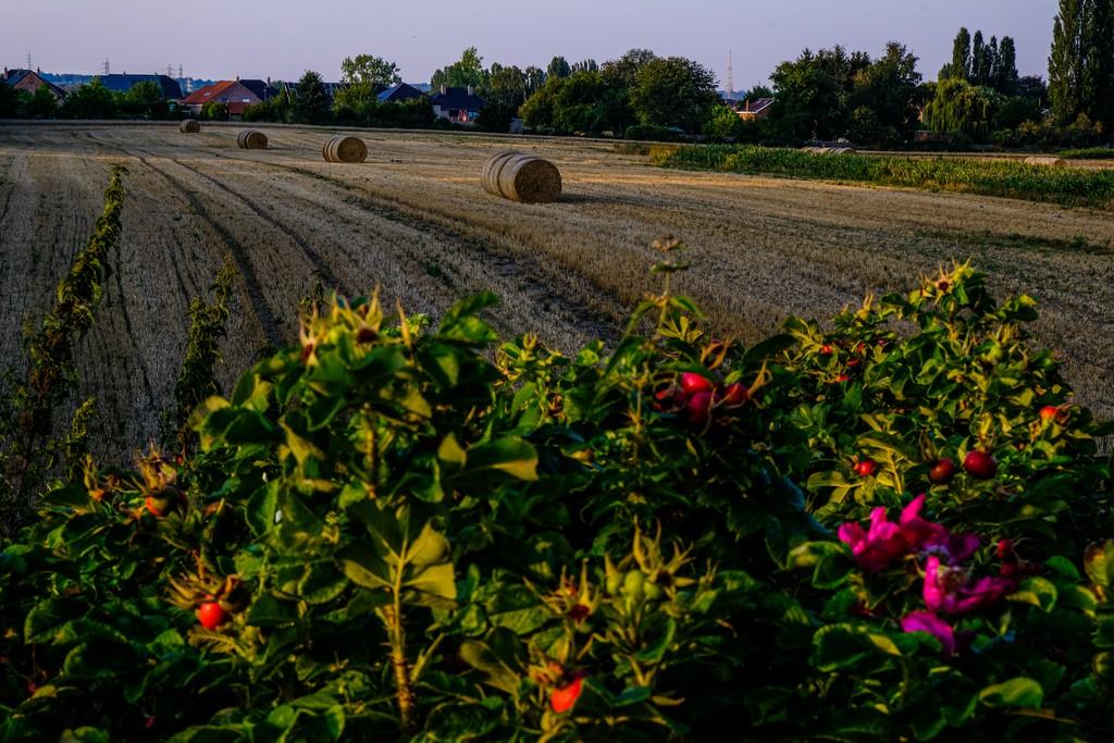 campo con balle di fieno case sullo sfondo e fiori di rosa canina in primo piano