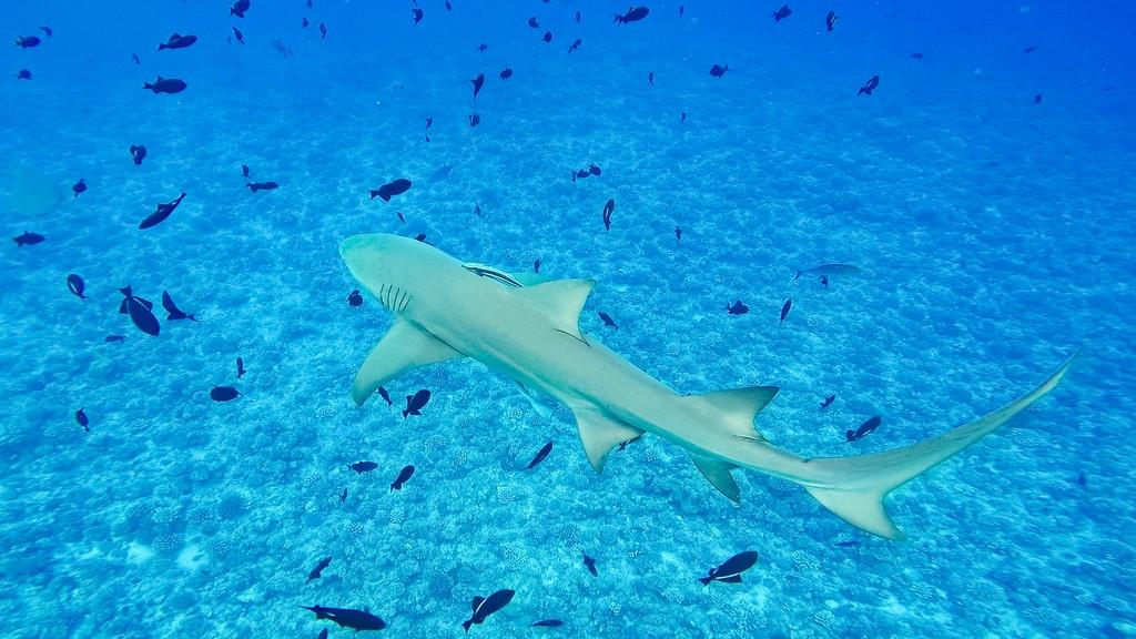 squalo limone nuota insieme a pesci