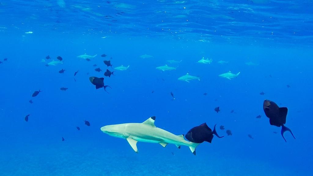 squali pinna nera con pesci neri che nuotano nel blu