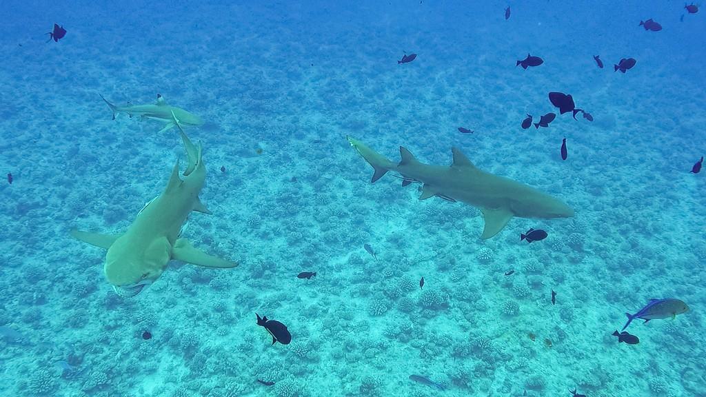 squali limone e pinne nere che nuotano
