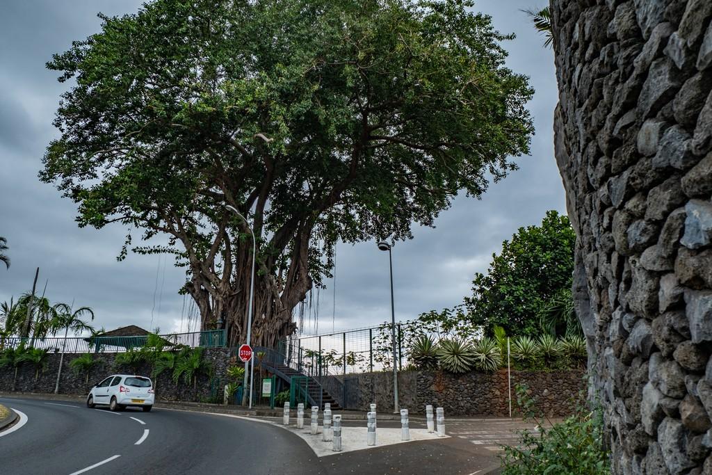 Enorme albero di banyan all'ingresso della terrazza panoramica sula rotonda