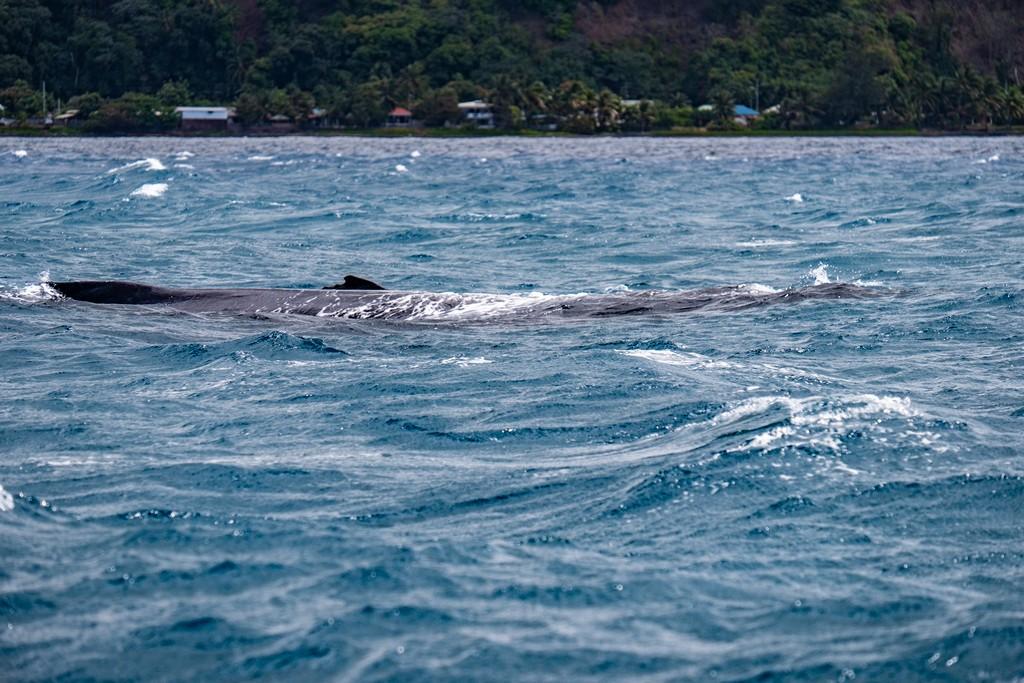 vista del dorso di una balena al largo di Tahiti e vista della costa