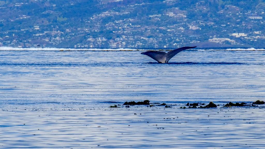 coda di una balena nel mare con sfondo di terra