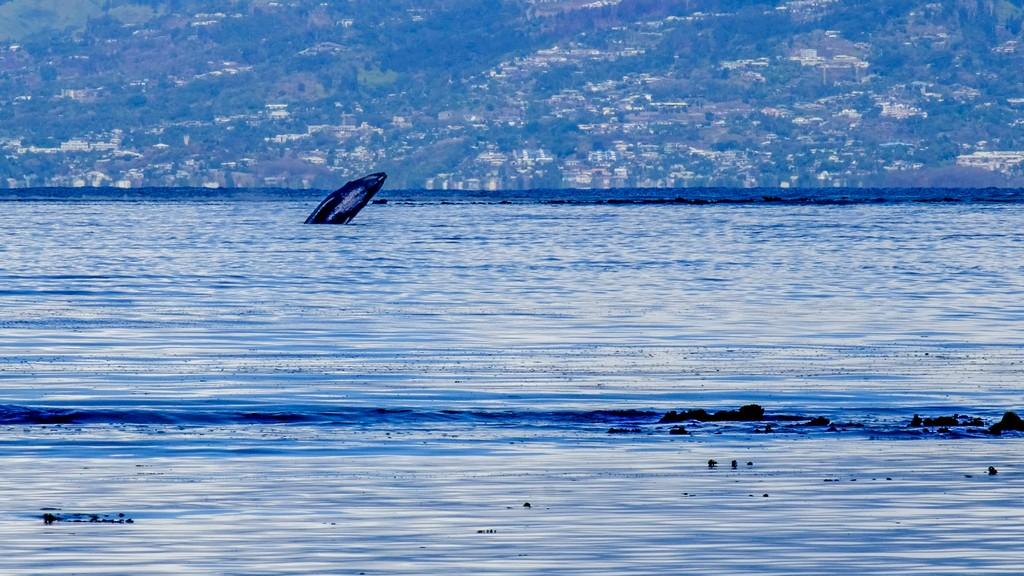 salto di una balena nel mare con sfondo di terra
