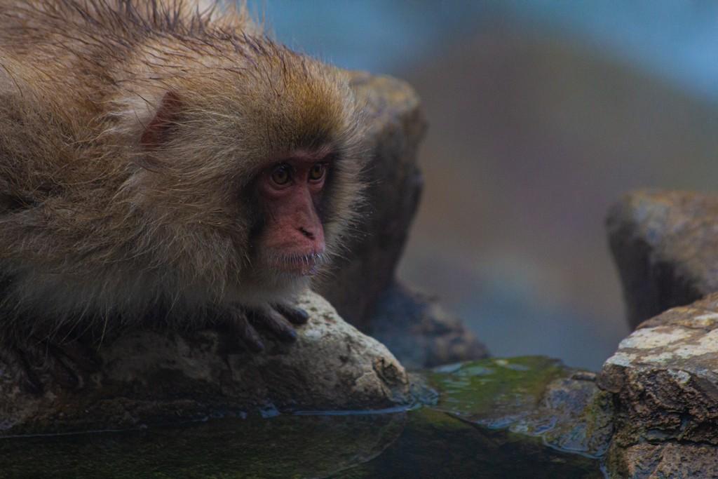 scimmia in agguato