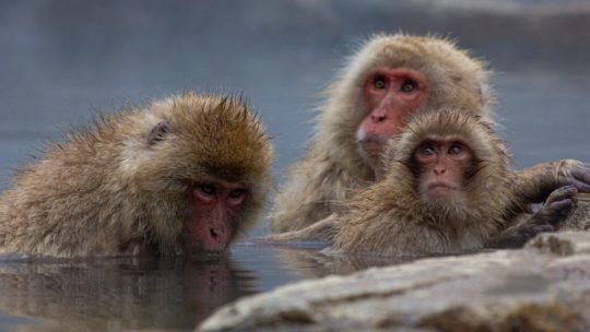 scimmie in acqua