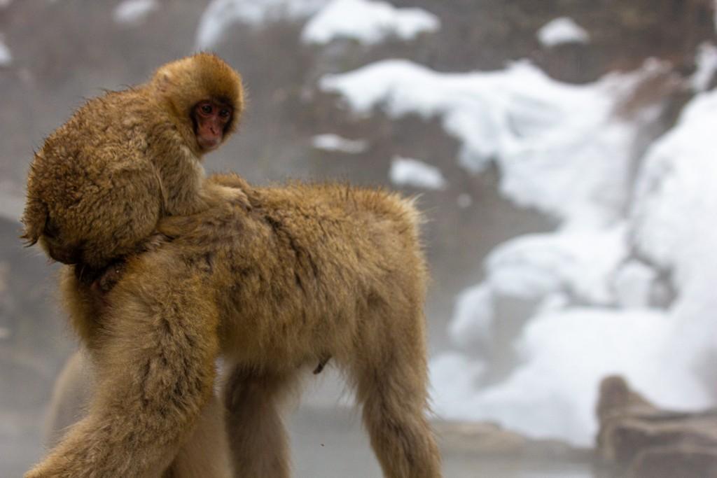 scimmia piccola sulla schiena della mamma
