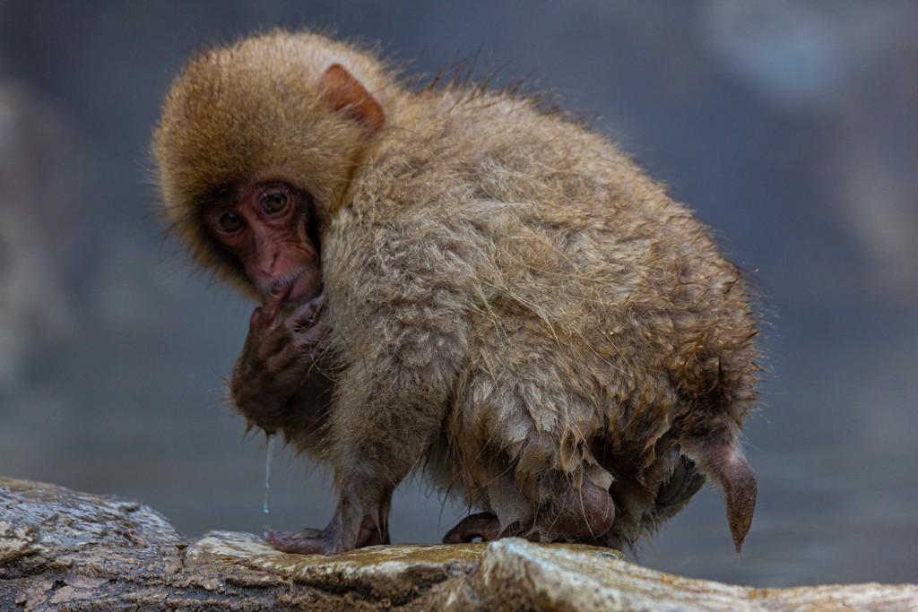 scimmia che beve