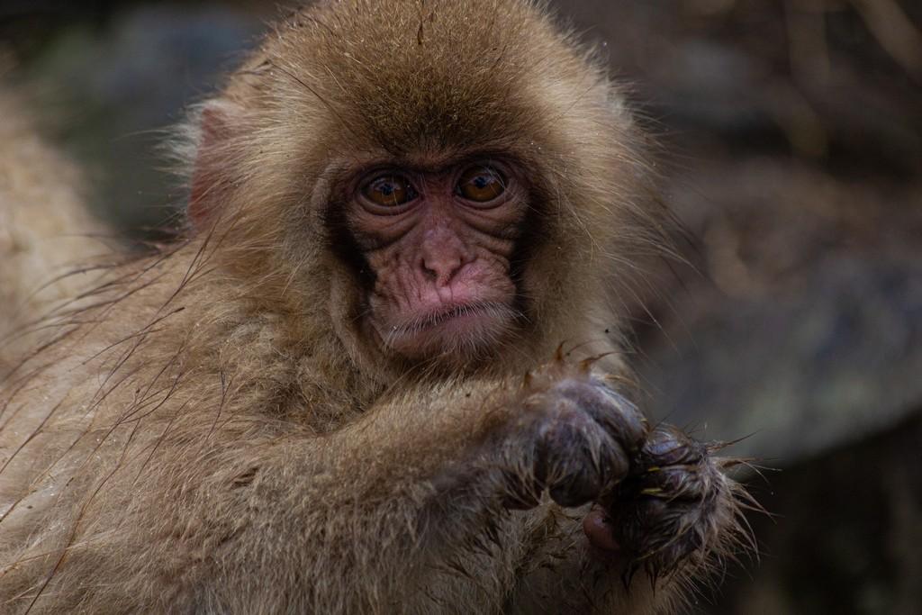 primo piano di una scimmia