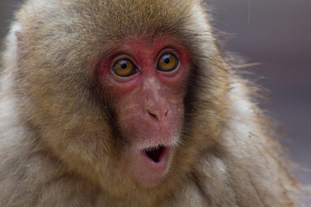 primo piano di una scimmia stupita