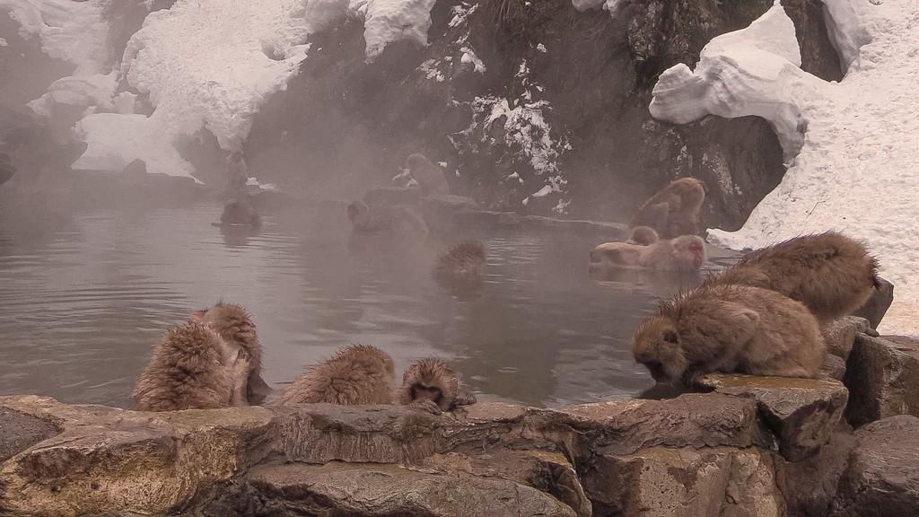scimmie nell'acqua