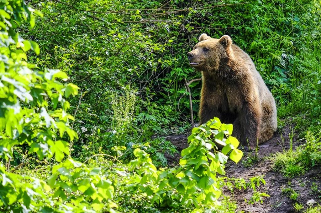 Bear refuge Kuterevo: orso si riposa all'ombra
