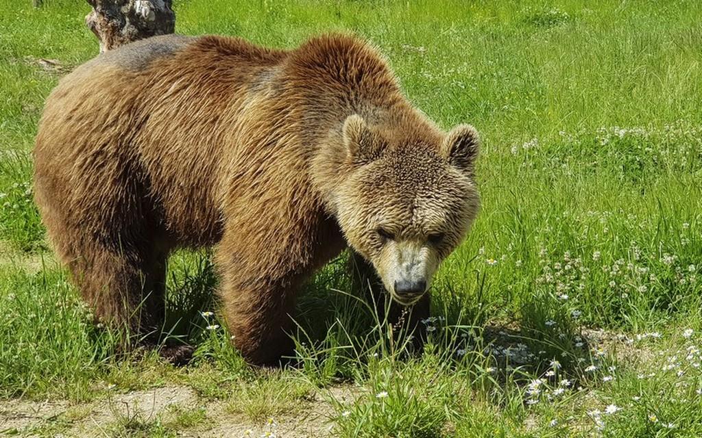 Bear Refuge di Kuterevo: orso sull'erba