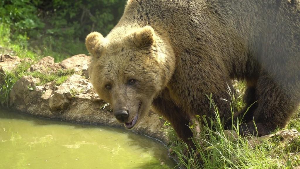 Bear refuge Kuterevo: primo piano di orso che sta per bere