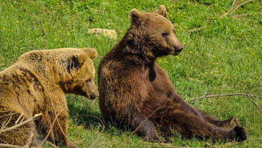 Bear refuge Kuterevo: orsi si riposano sull'erba