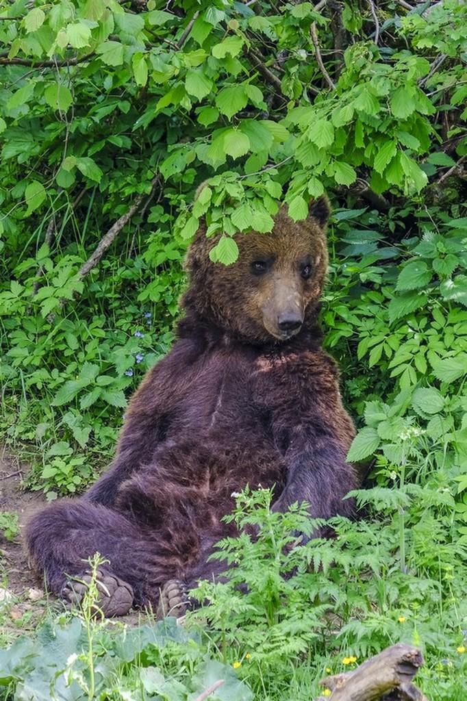 Bear Refuge di Kuterevo: orso si riposa nella vegetazione