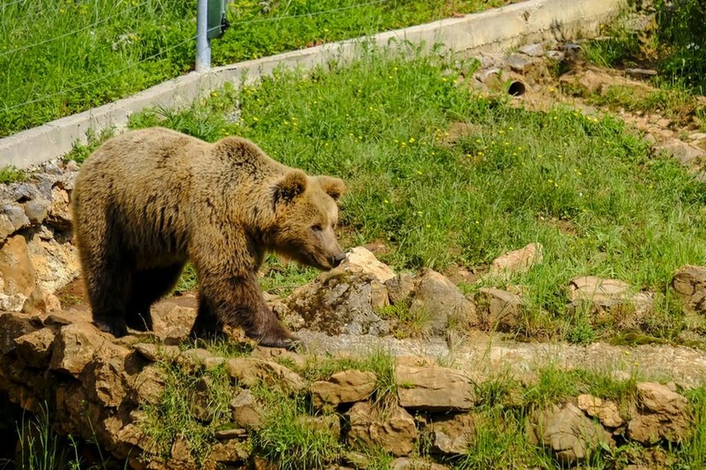 Bear Refuge di Kuterevo: orsa cammina sull'erba al sole
