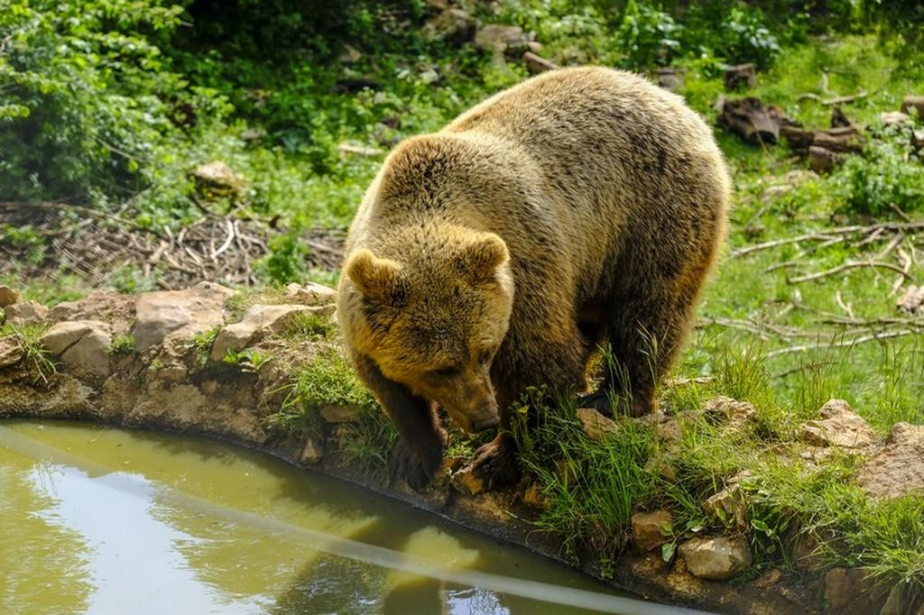 Bear refuge Kuterevo: orso che beve
