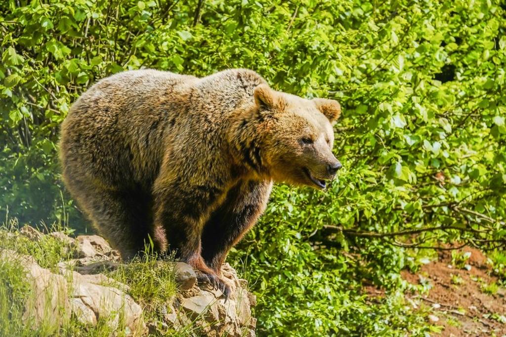 Bear refuge Kuterevo: orso sulla rupe