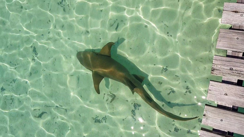 squalo dormiente sotto il pontile