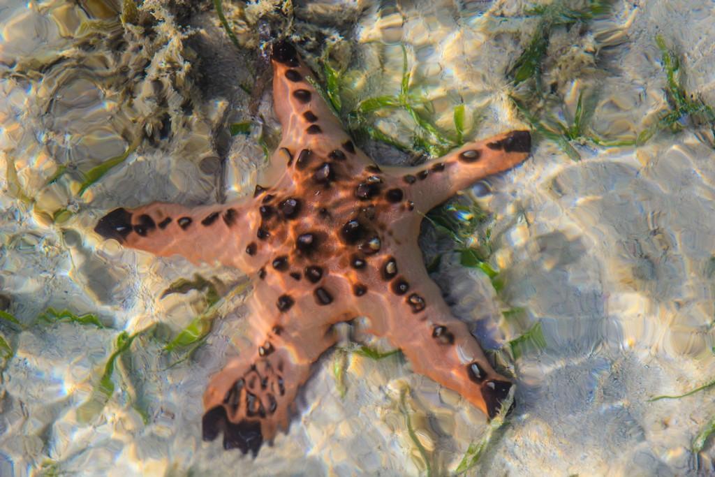 stella marina cornuta in acqua