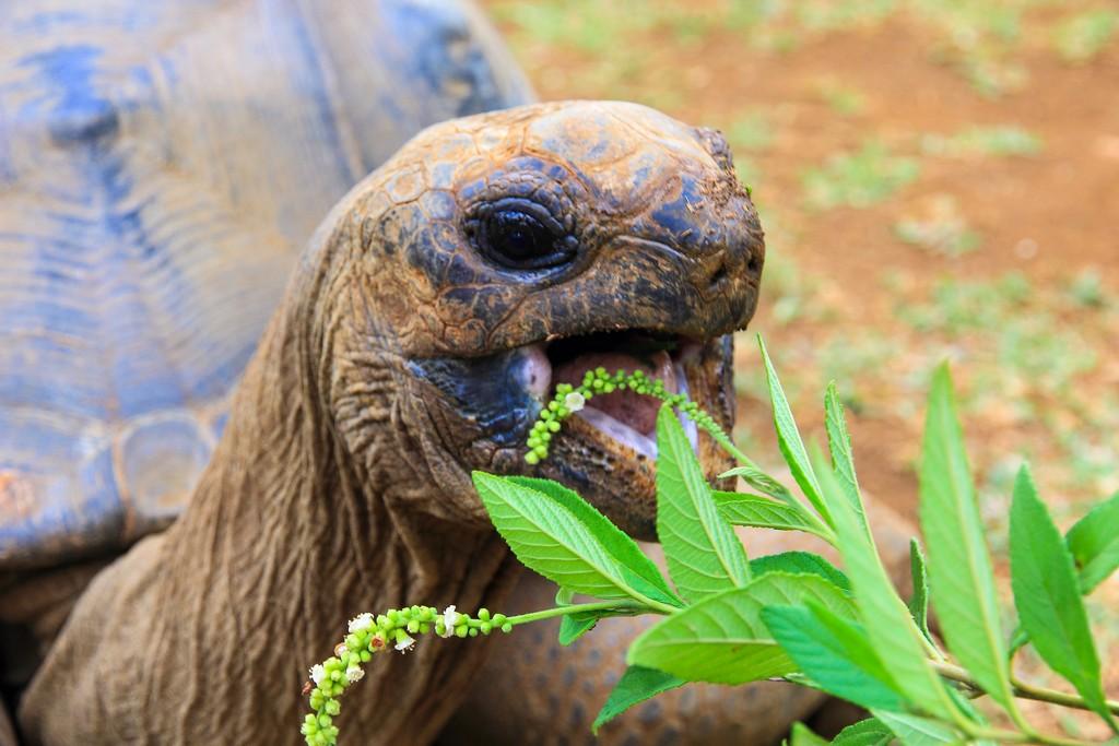 tartaruga che mangia le foglie