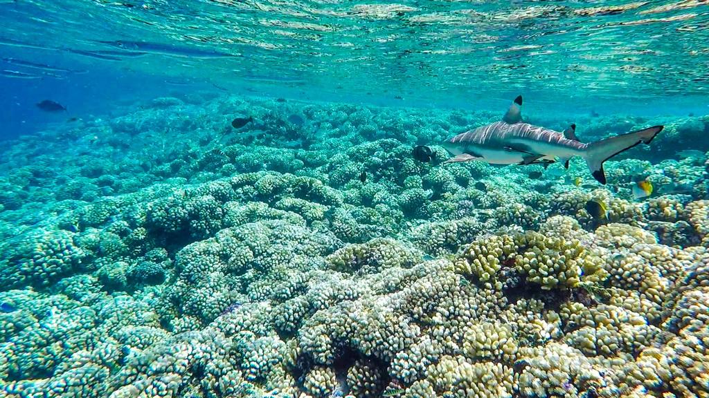 squalo sulla barriera corallina