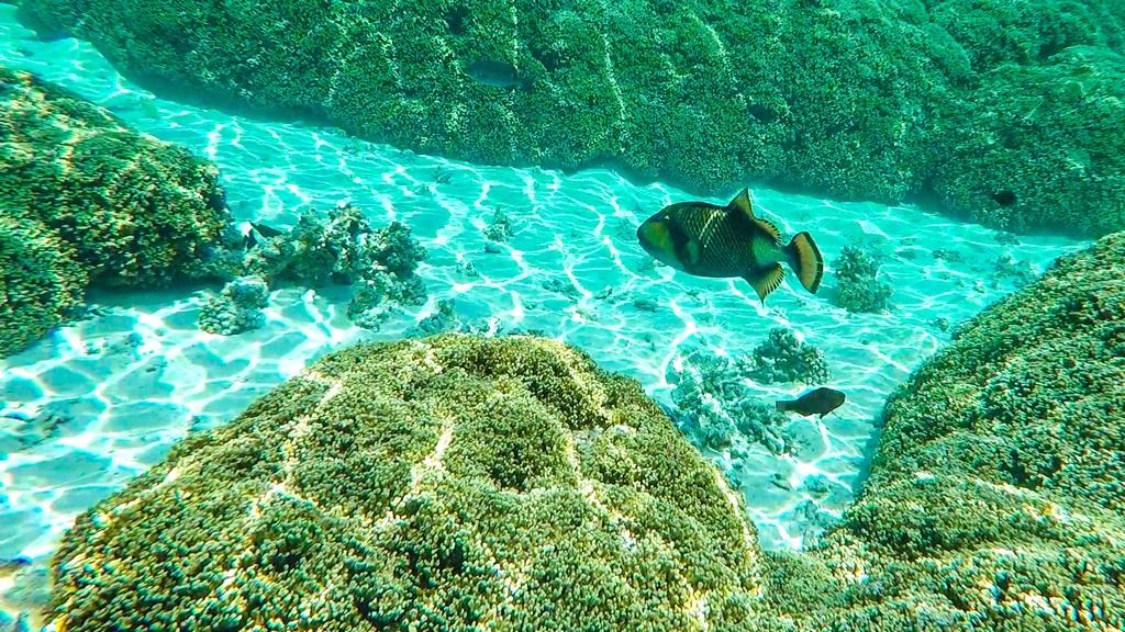 pesce napoleone in acqua