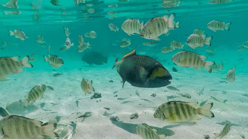 pesci di barriera