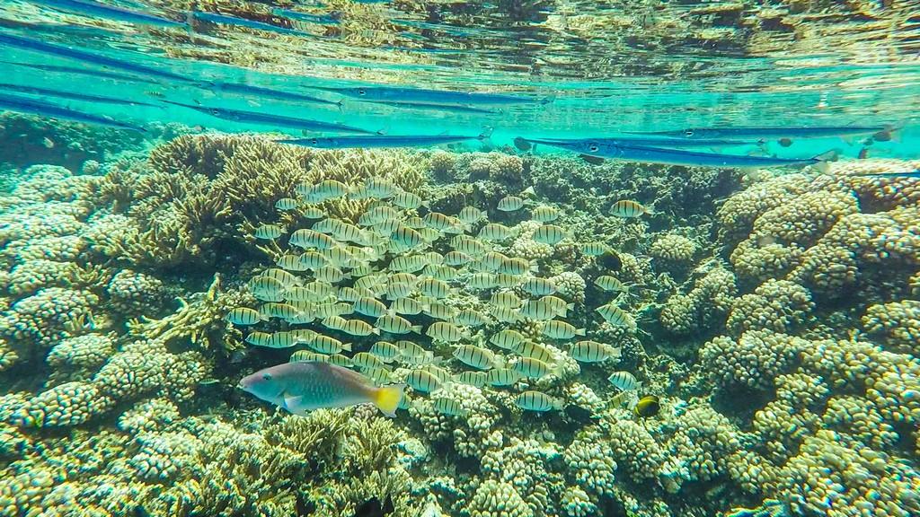 maldive o polinesia francese pesci sulla barriera corallina
