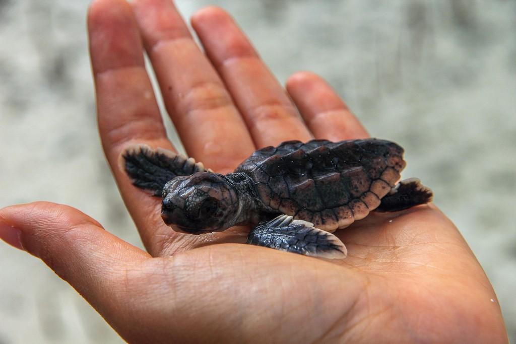 tartaruga appena nata in mano