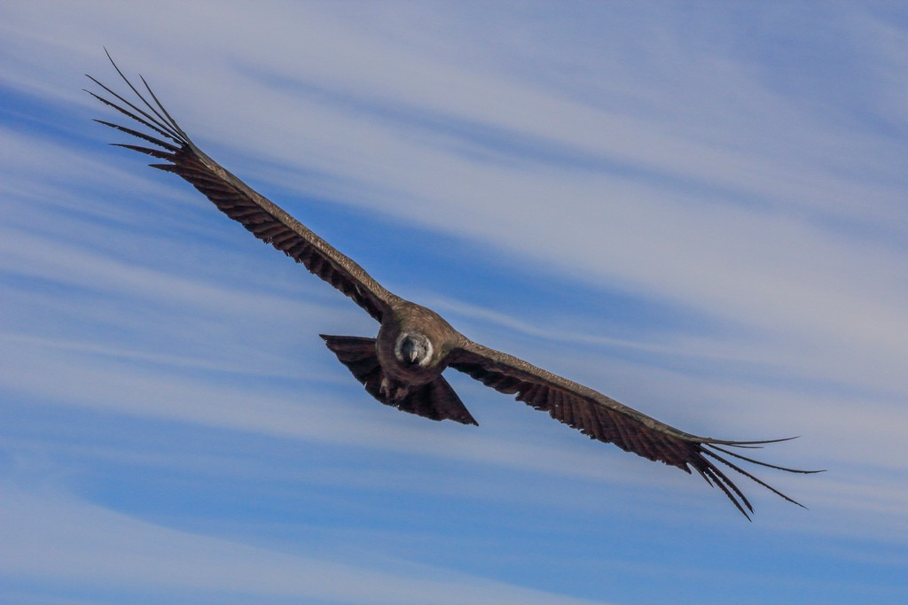 Condor giovane