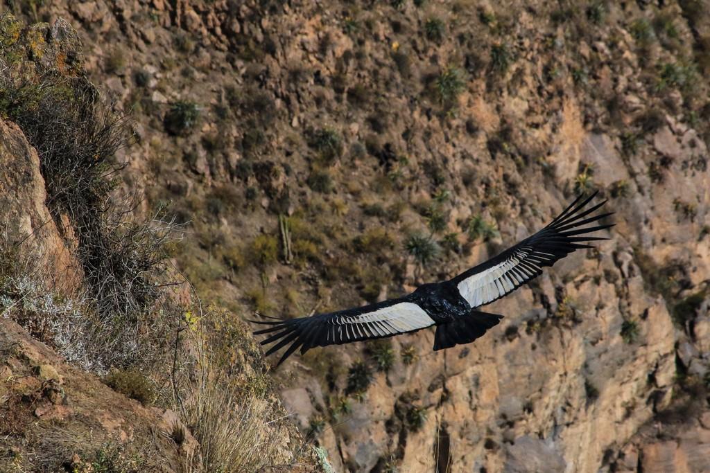 Condor adulto si libra nell'aria