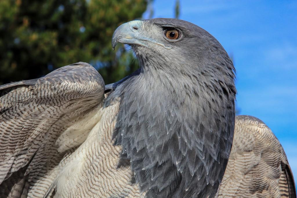 Falco peruviano
