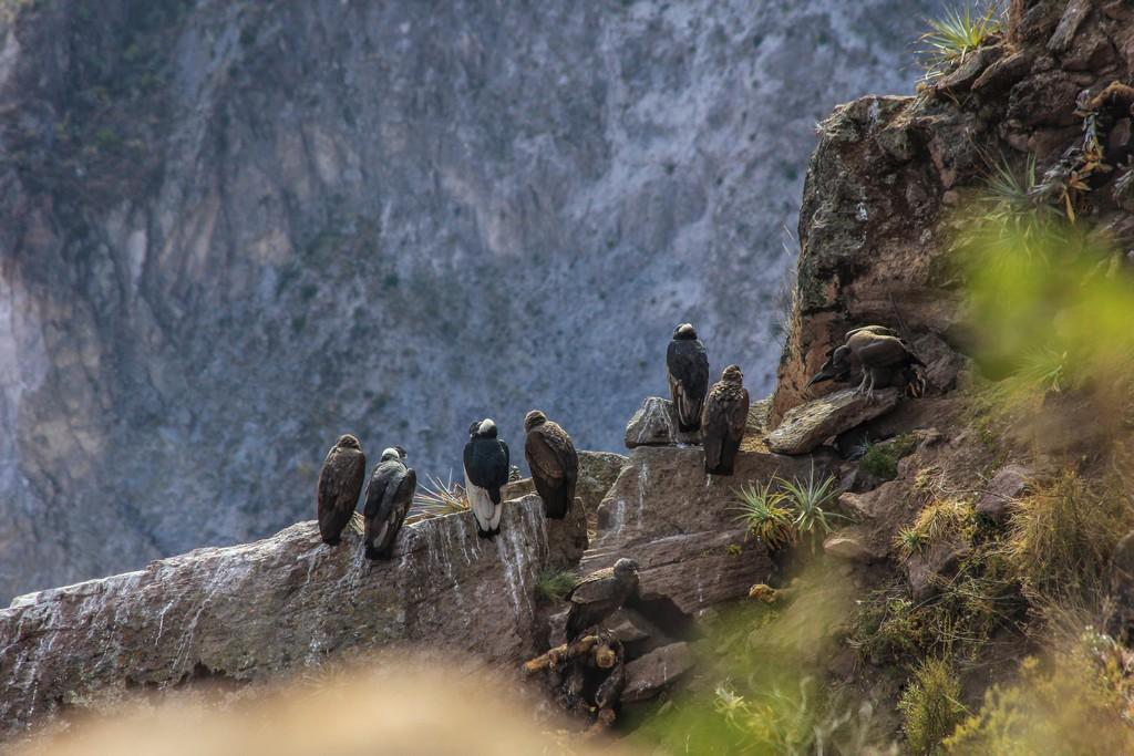 Condor appollaiati sugli anfratti all'interno del Canyon in attesa delle correnti ascensionali