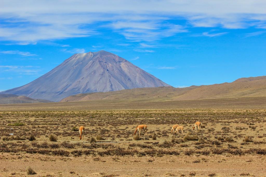 Vigogne selvatiche e sullo sfondo il vulcano El Misti