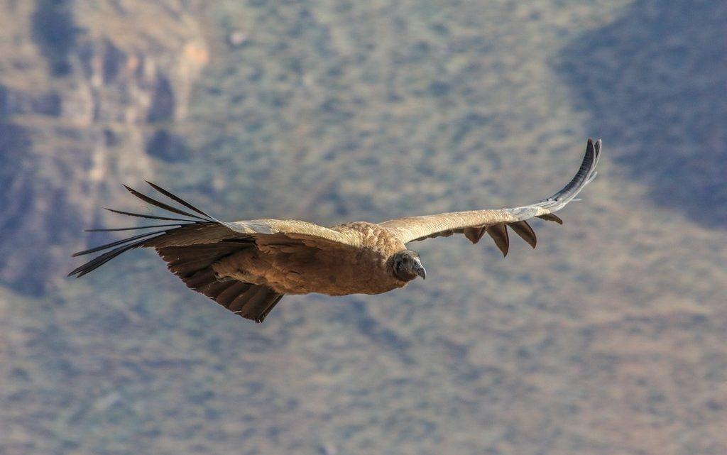 Il maestoso volo di un condor andino