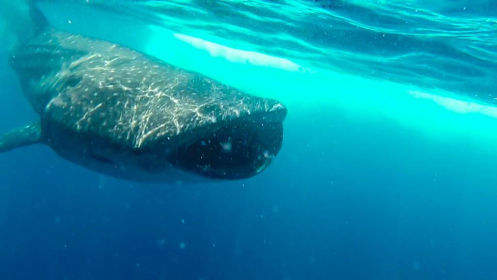 nuotare con gli squali balena squalo balena in acqua