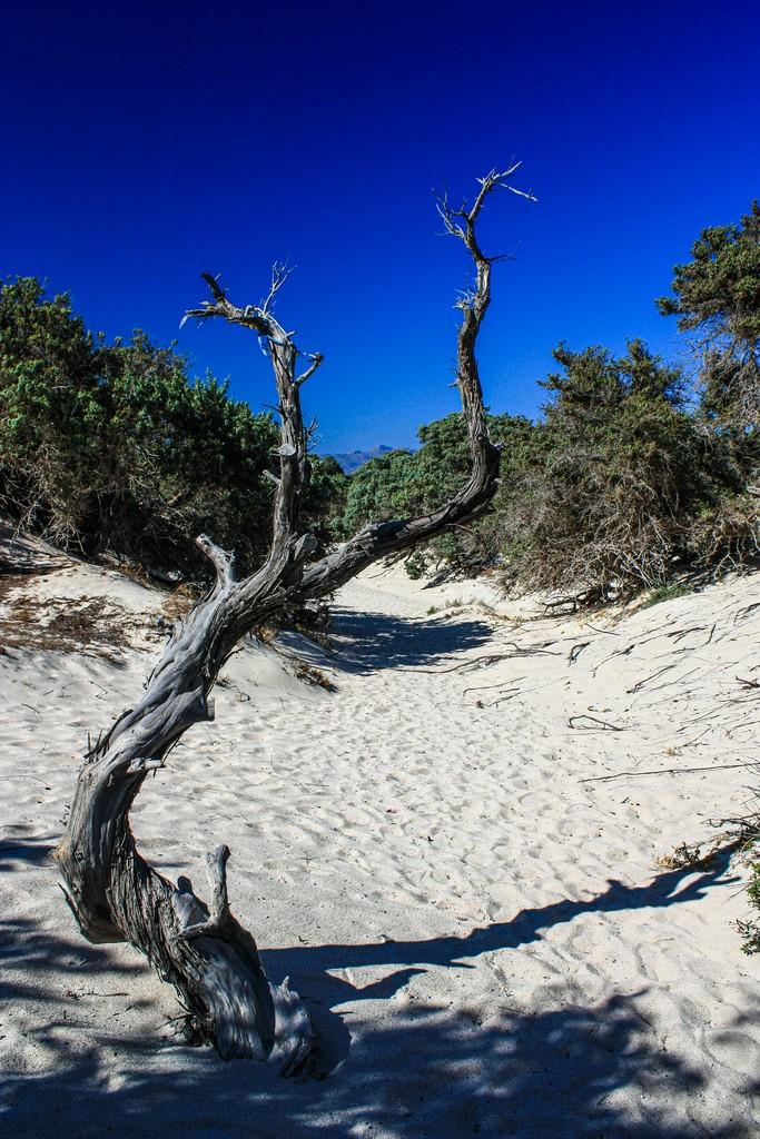 cedro del libano in spiaggia