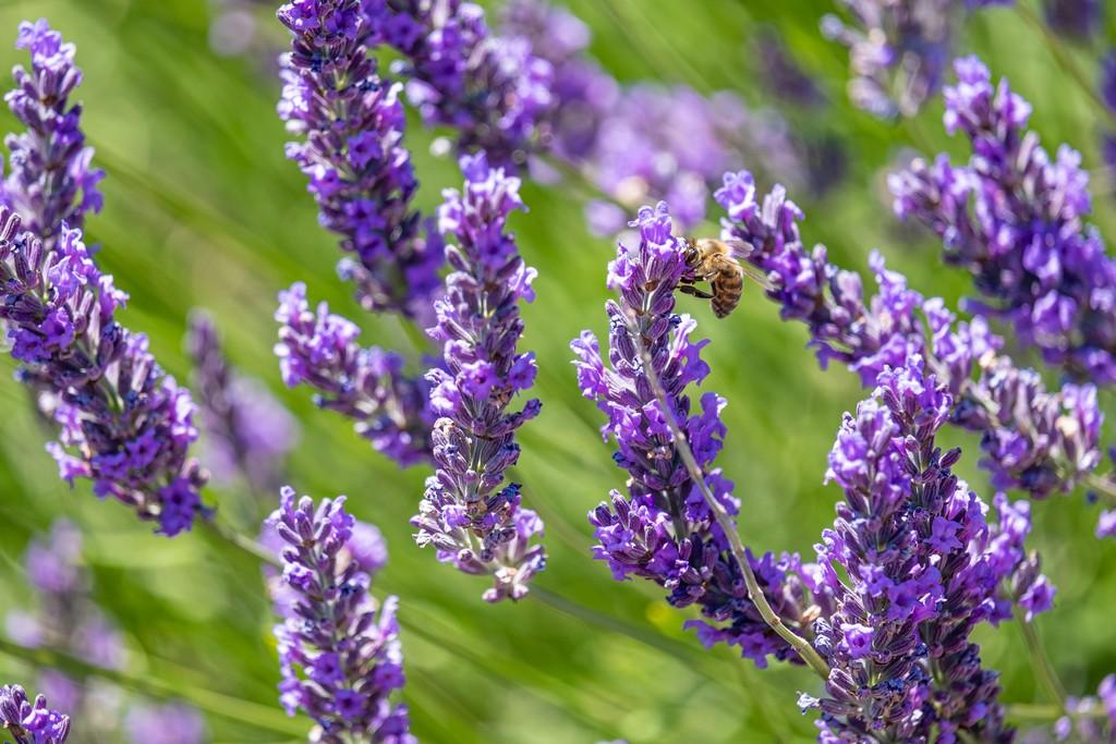 fiore di lavanda con ape